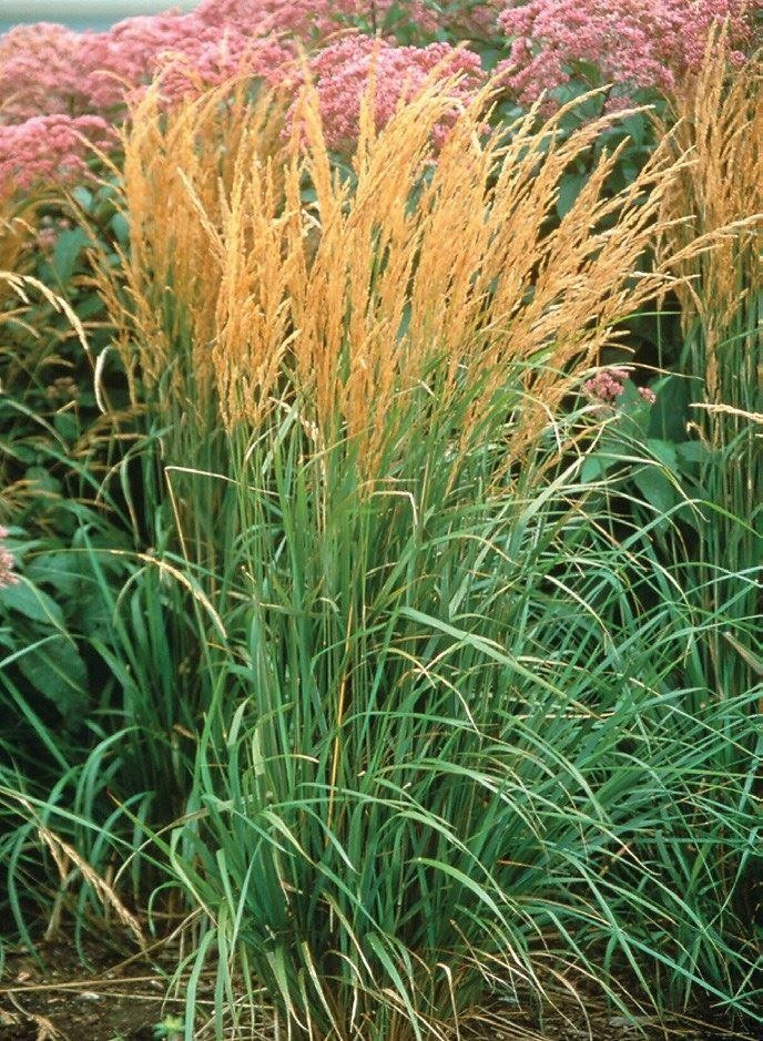 Calamagrostis acutiflora 39 karl foerster 39 feather reed grass for Ornamental grass that looks like wheat