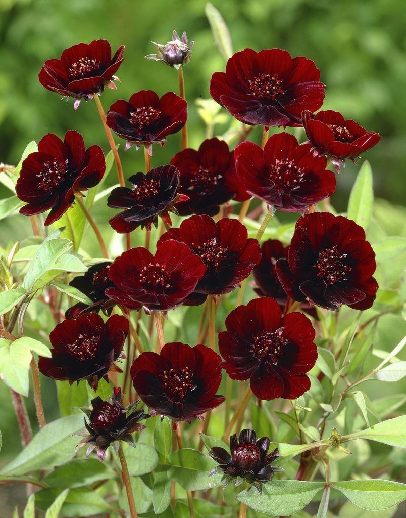 atrosanguinea ''Chocolate'' - atrosanguineus Chocolate Cosmos Plant