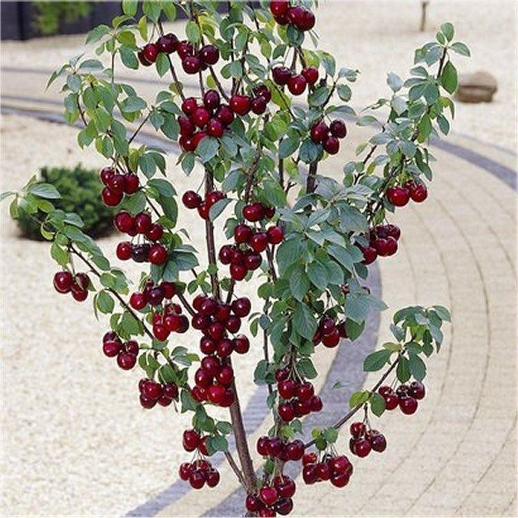 Patio Fruit Tree  Compact Black Cherry 'regina' Tree. Patio Furniture Sets Phoenix. Patio Furniture Covers Oakville. Hampton Bay Sanopelo Patio Furniture Set. Free Stone Patio Designs. Patio Tables Orlando. Patio Furniture Stores In Brandon Florida. Patio Dining Sets With Umbrella Included. Patio Side Table Plans Free