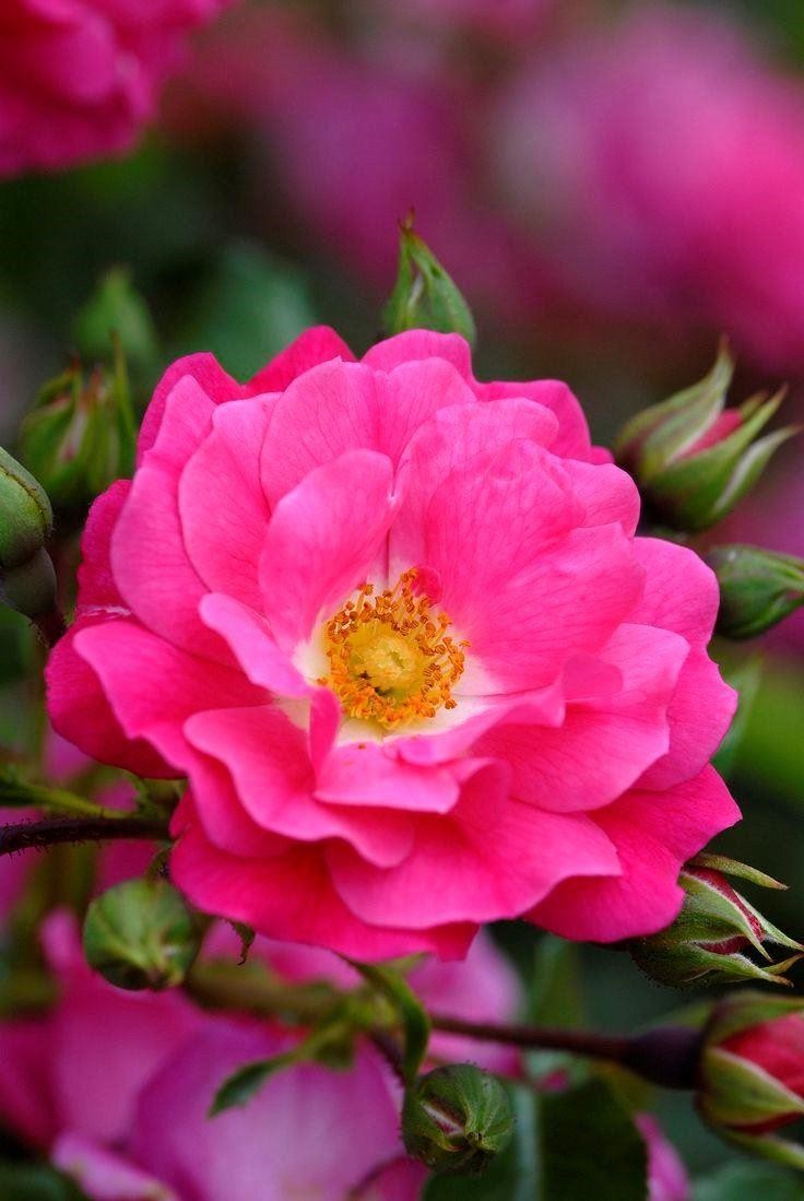 Roses In Garden: Rose Flower Carpet Pink
