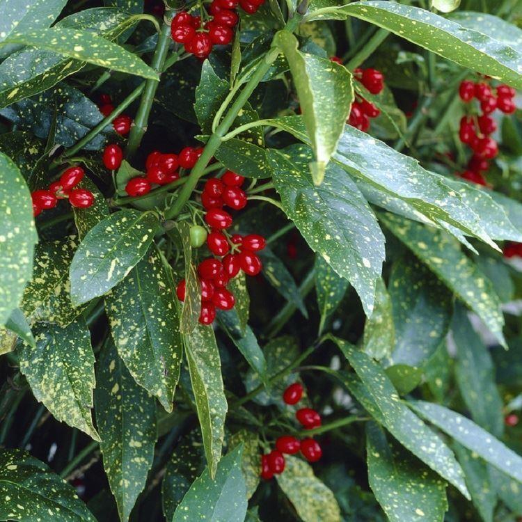 aucuba japonica variegata large variegated spotted laurel. Black Bedroom Furniture Sets. Home Design Ideas