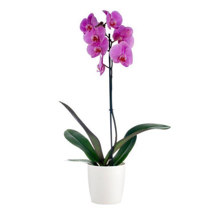 Luxury Phalaenopsis Pink Moth Orchids In Stylish White