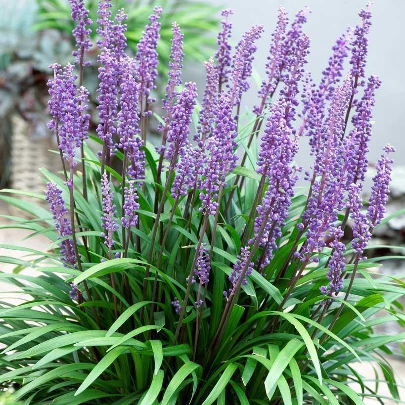 Liriope muscari big blue lily turf for Large ornamental grass plants