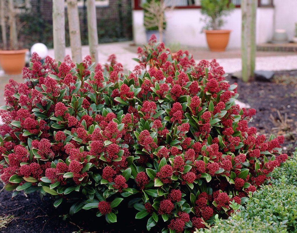 Skimmia japonica rubella pack of three plants for Garden shrubs
