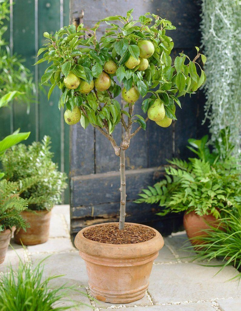 Patio Fruit Tree Compact Pear 39 Doyenne Du Comice 39 Tree