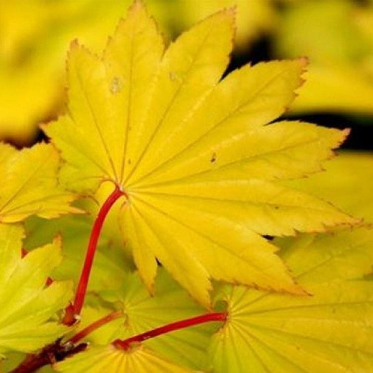 "Acer Japonicum aconitifolium ""The Fern Leaf Full Moon Mapl ... 