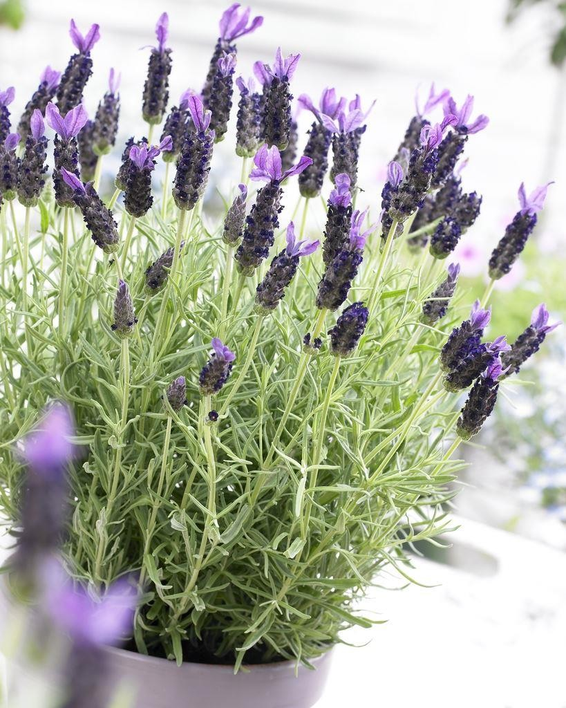 french lavender lavender stoechas midnight purple pack of six plants in bud u0026 bloom - French Lavender