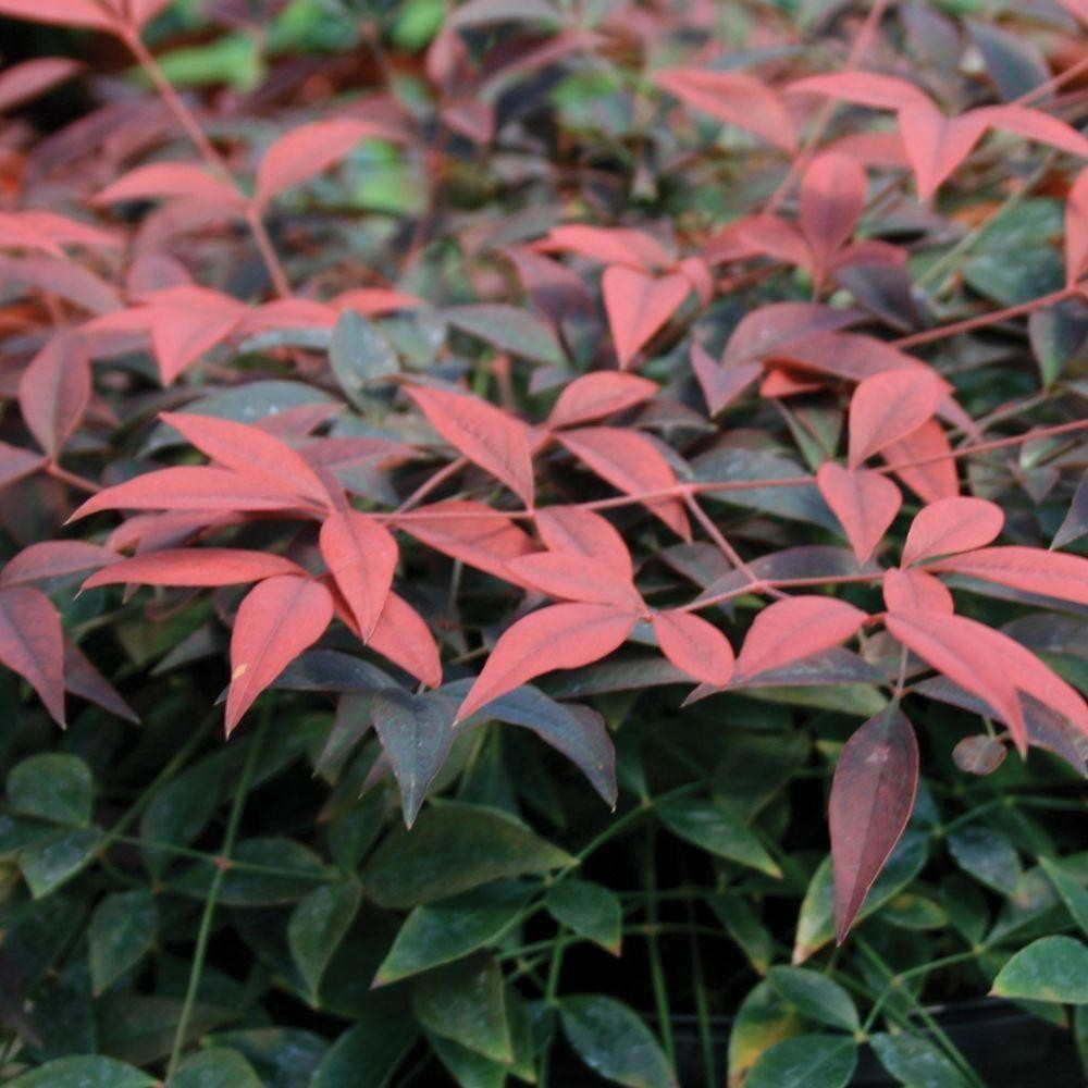 Nandina domestica flirt new compact heavenly bamboo for Southern living login