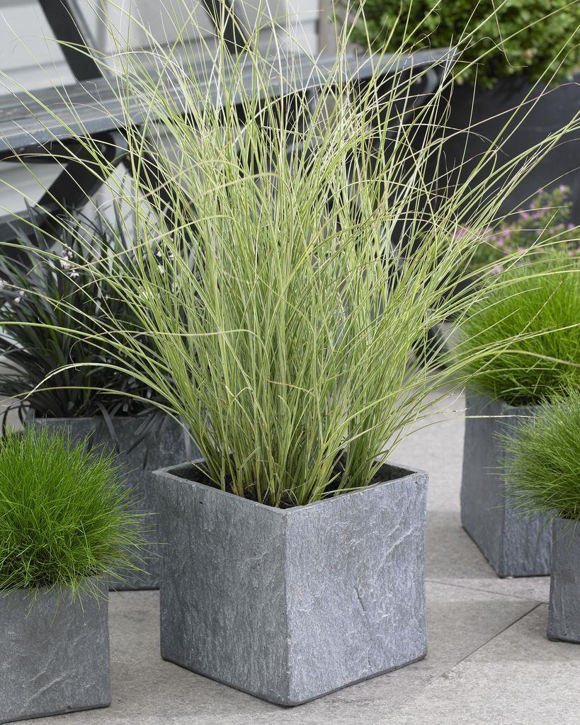 Miscanthus Sinensis Morning Light Japanese Silver Grass