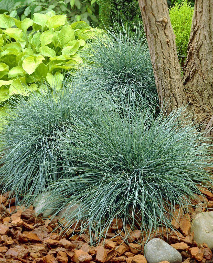 Festuca glauca elijah blue fescue pack of three for Blue decorative grass