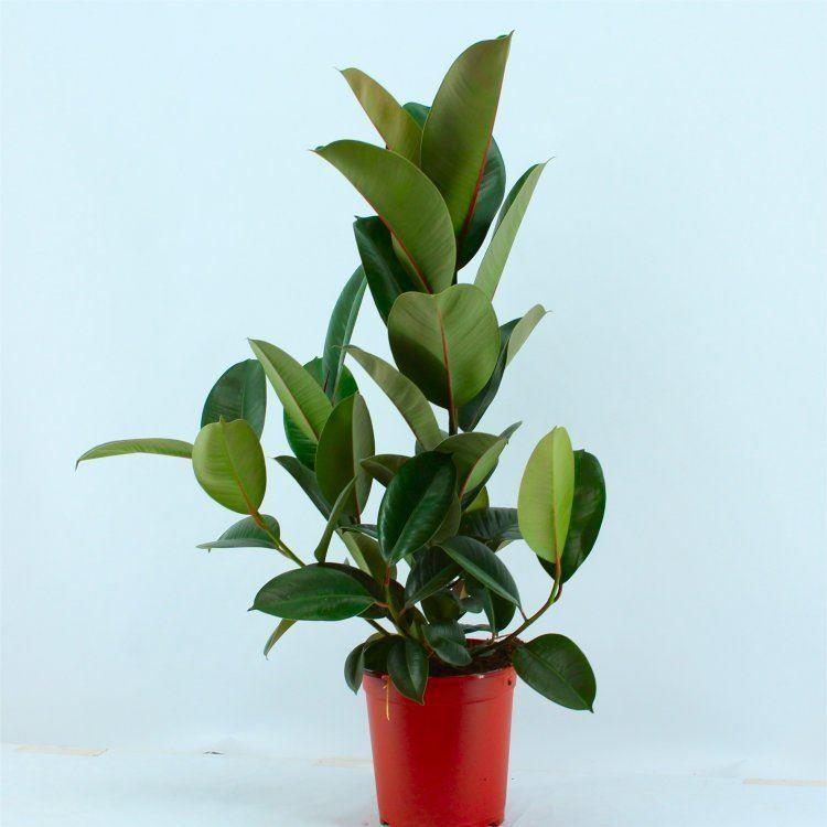 Ficus elastica Robusta - Rubber Plant Tree - House Plant  Ficus elastica ...