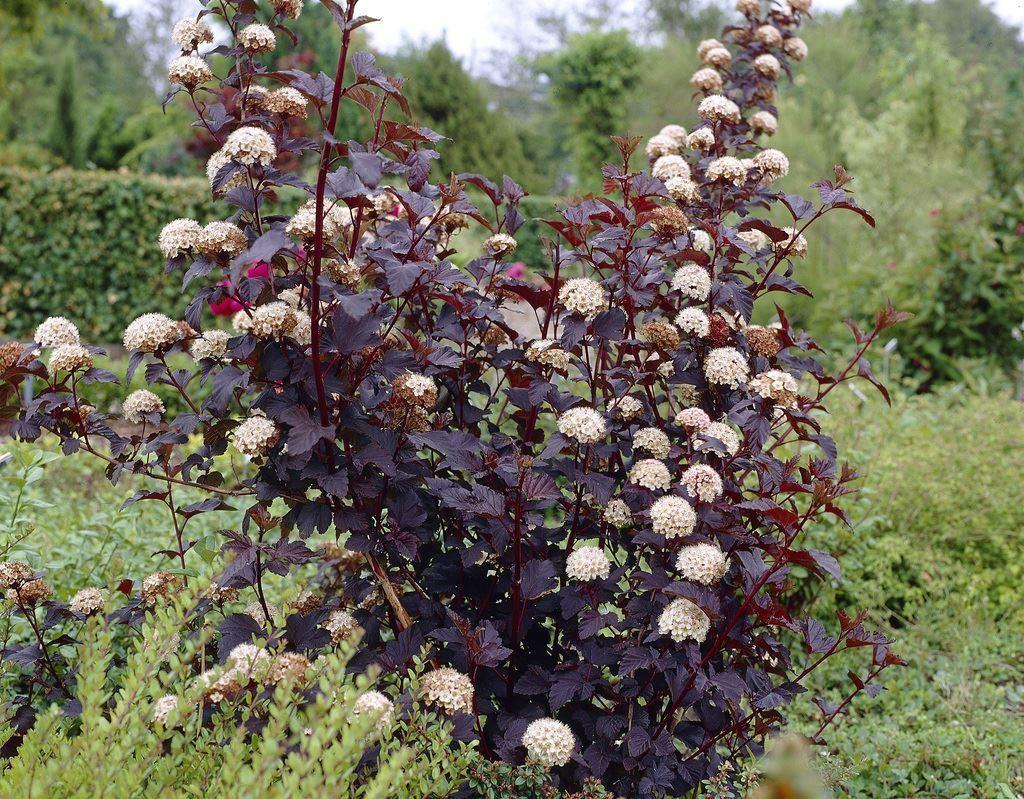 physocarpus opulifolius diabolo ninebark