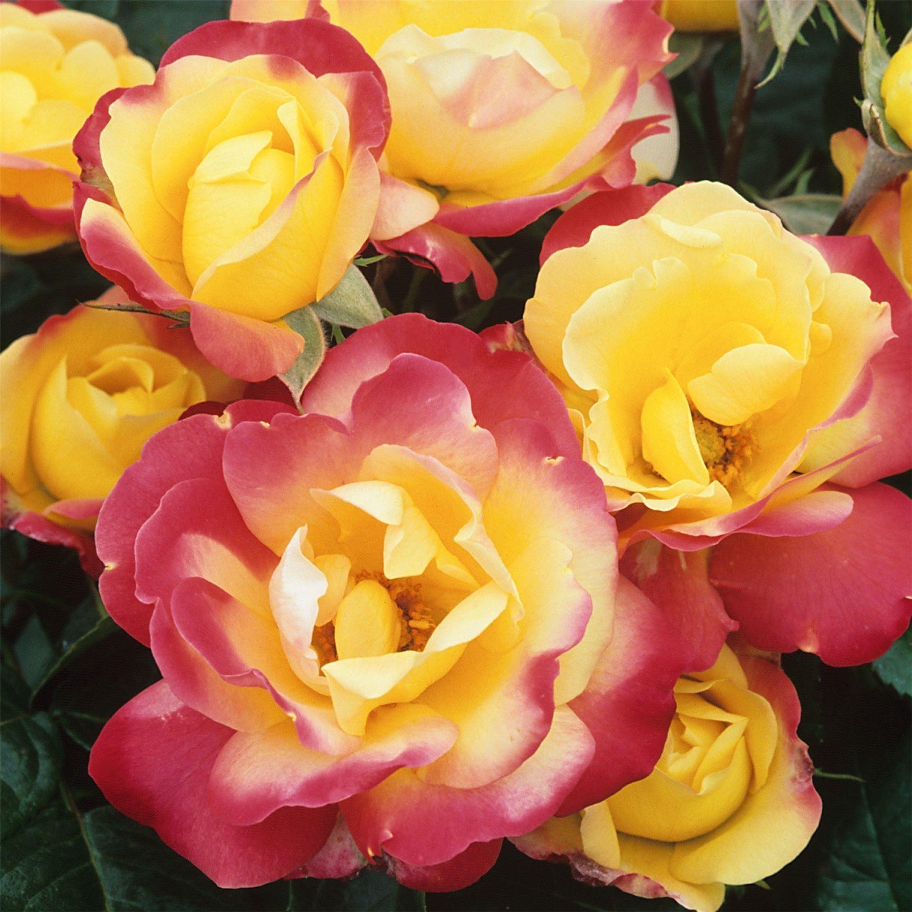 Rose Masquerade Climbing Rose