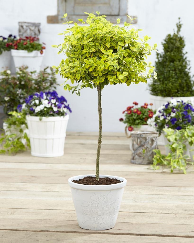 Pair of euonymus emerald gold golden evergreen for Garden topiary trees