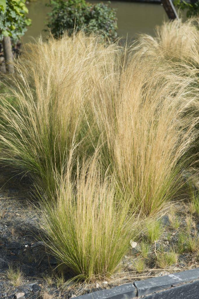 Stipa Tenuifolia Tenuissima Pheasant Grass