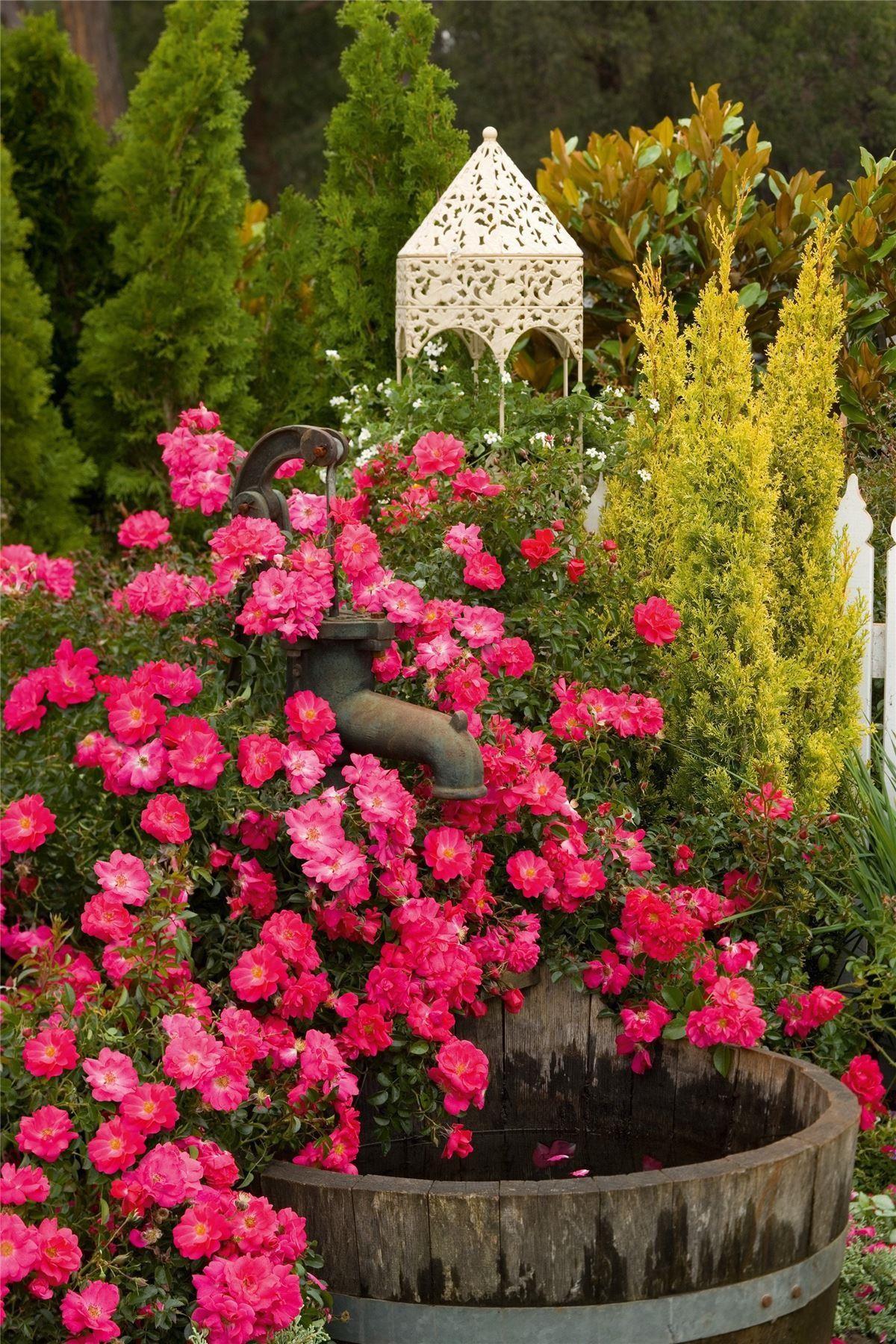 Roses In Garden: Rose Flower Carpet Pink