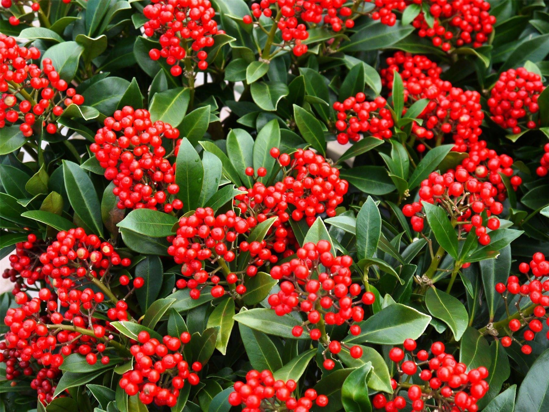 special deal skimmia japonica 39 beautiful 39 large specimen plant. Black Bedroom Furniture Sets. Home Design Ideas