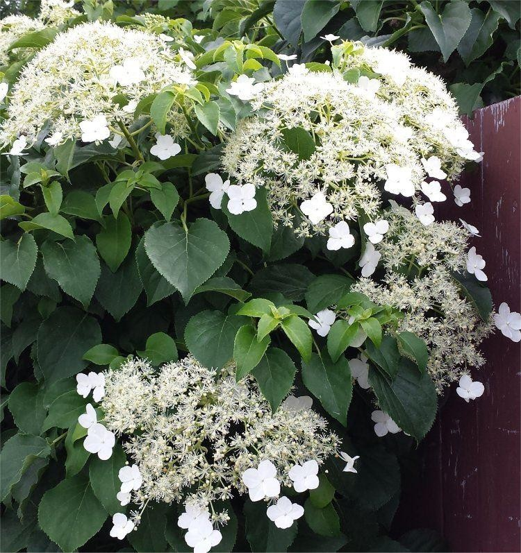 hydrangea petiolaris climbing hydrangea pack of three. Black Bedroom Furniture Sets. Home Design Ideas