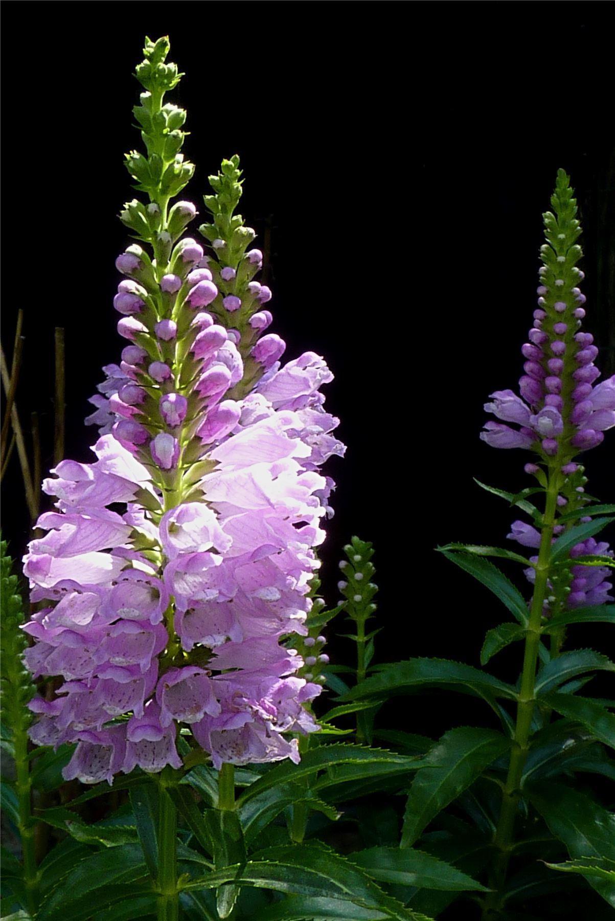 Physostegia Virginiana Rosea Obedient Plant