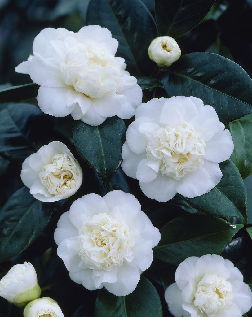 camellia japonica nobilissima. Black Bedroom Furniture Sets. Home Design Ideas