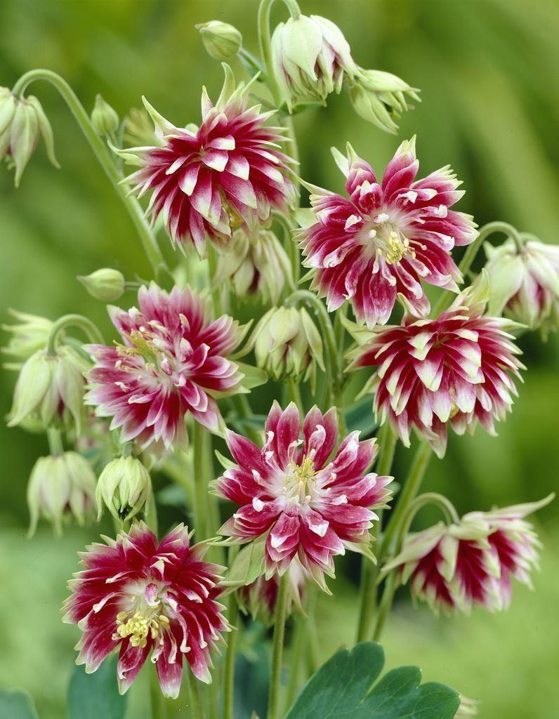 Aquilegia vulgaris 'Nora Barlow' (Akelei)