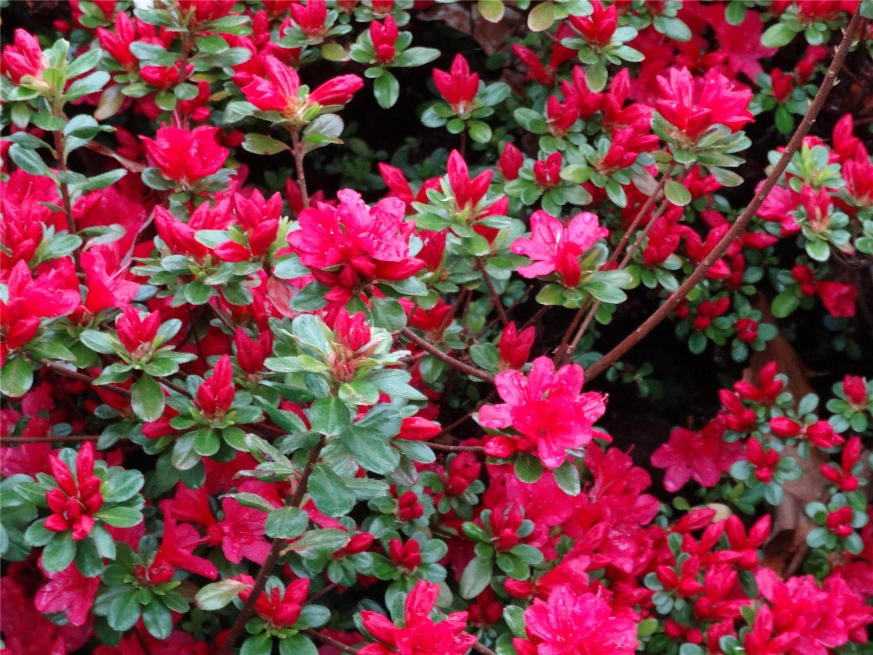 Azalea japonica hino crimson evergreen japanese azalea for The azalea