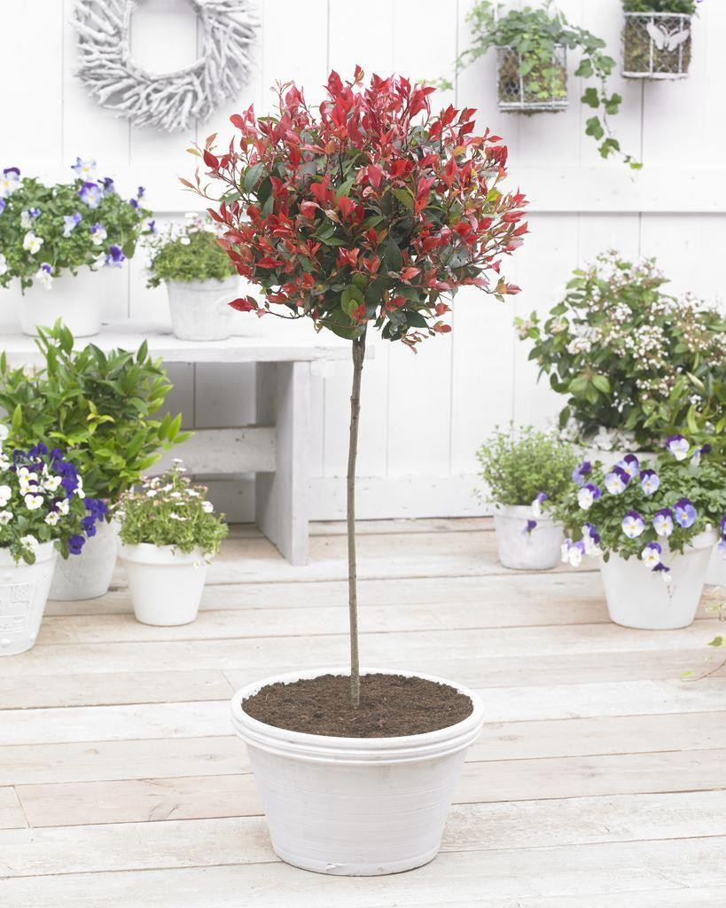 pair of extra large evergreen photinia little red robin. Black Bedroom Furniture Sets. Home Design Ideas