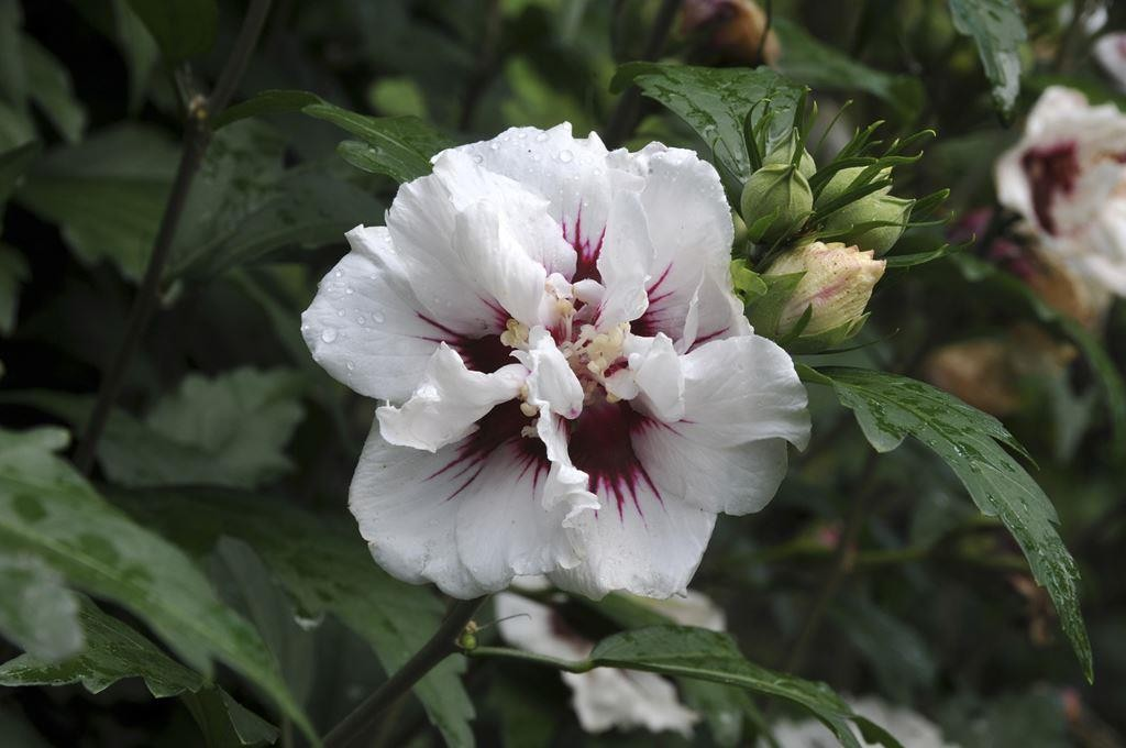 hibiscus syriacus speciosus. Black Bedroom Furniture Sets. Home Design Ideas