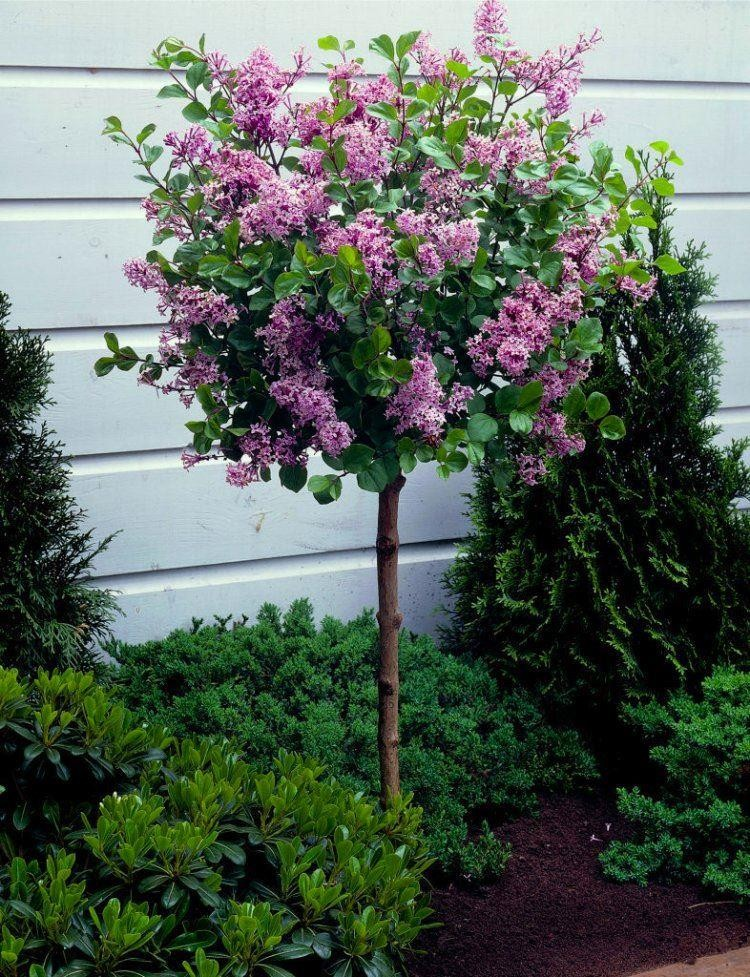 Dwarf korean lilac tree syringa palibin large standard for Flowering dwarf trees for landscaping