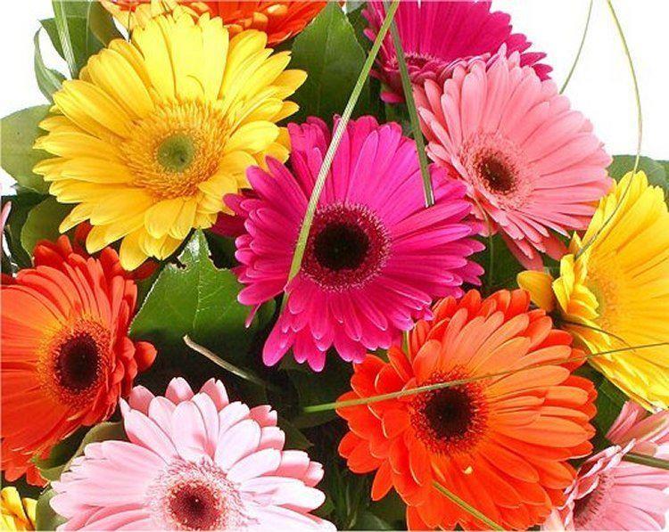 Gerbera plants selection of 3 beautiful hardy gerberas with giant daisy flowers - Hardy office plants ...