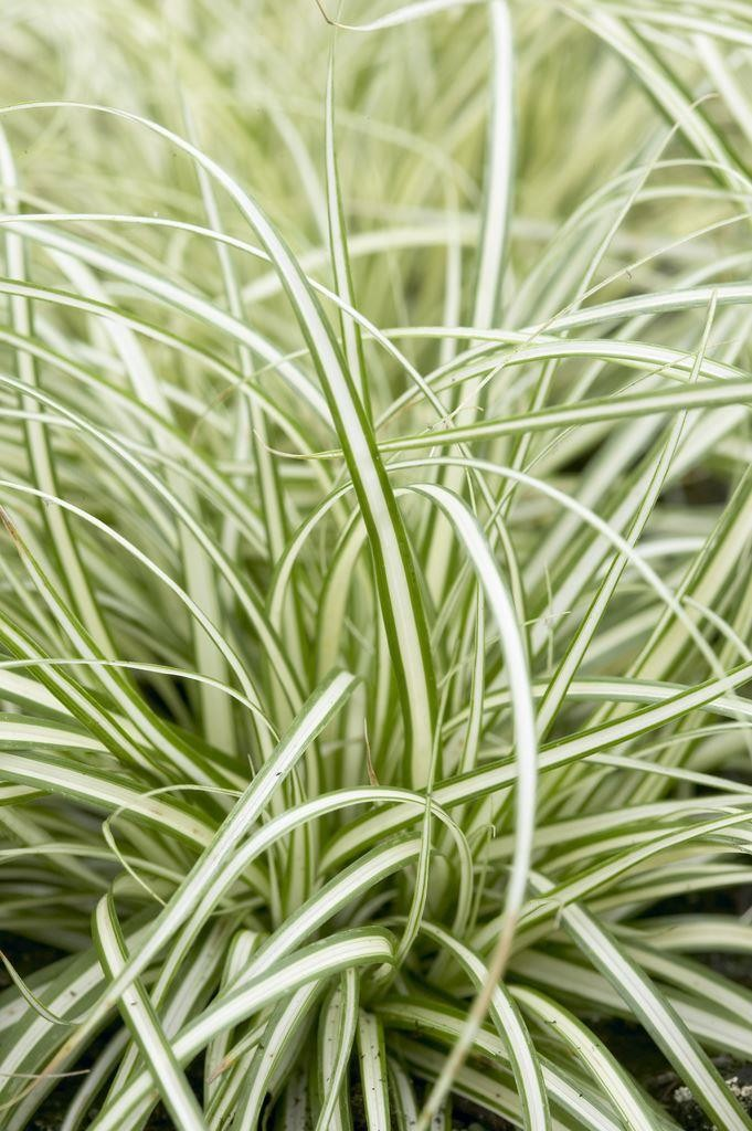 Carex oshimensis evergold japanese sedge for Japanese ornamental grass