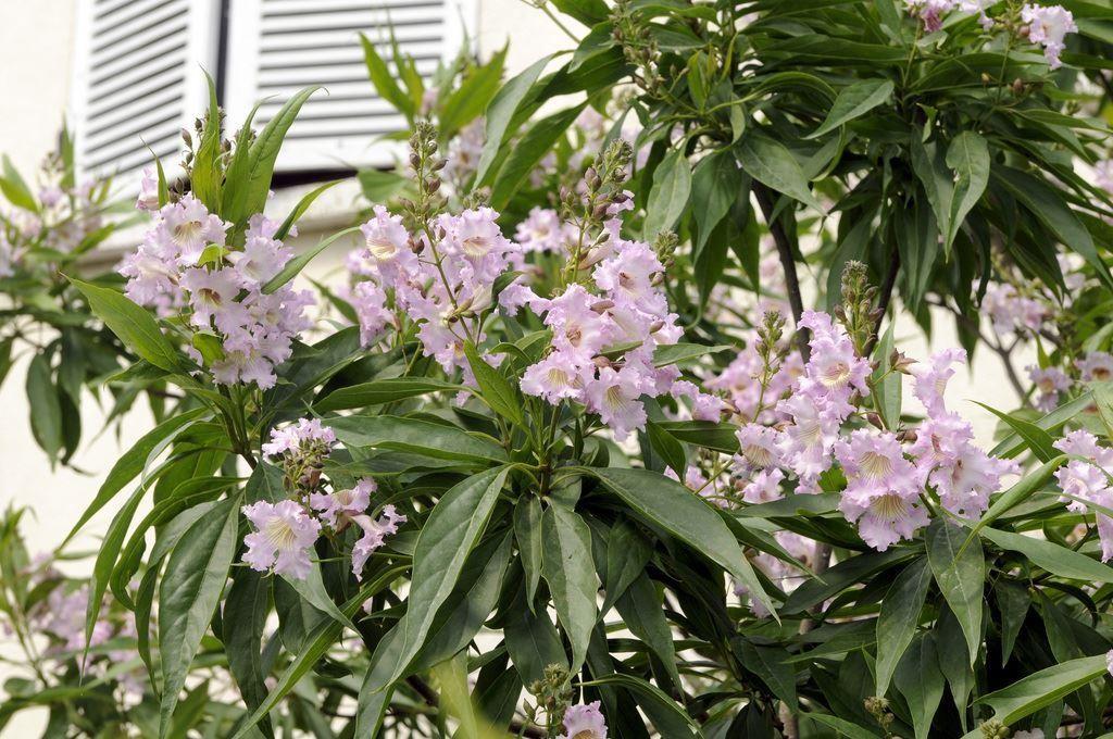 Chitalpa tashkentensis Summer Bells   Desert Willow