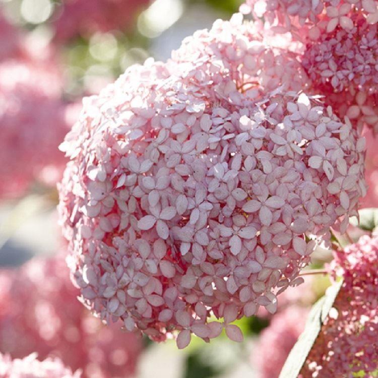 Hydrangea arborescens pink annabelle invincibelle spirit for Annabelle hydrangea