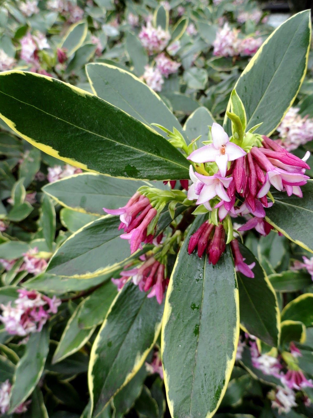 Fragrant Hardy Evergreen Shrub Daphne odora Aureomarginata
