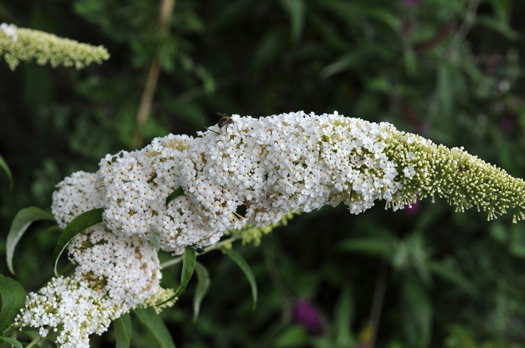 Buddleja Davidii White Profusion White Butterfly Bush