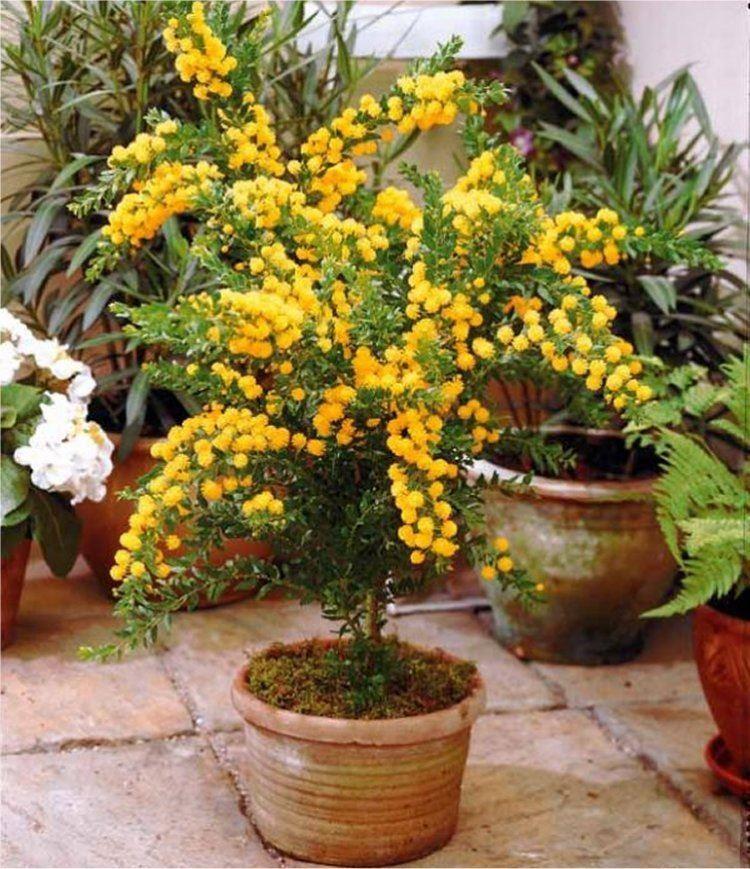 Patio mimosa plant acacia armata for Garden plants