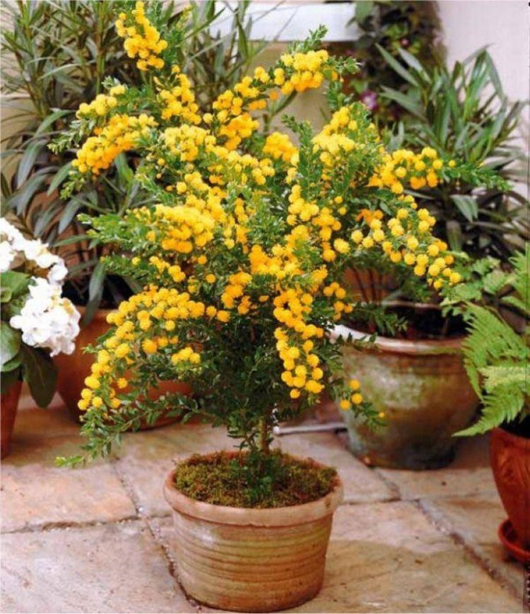 Patio Mimosa Plant Acacia Armata
