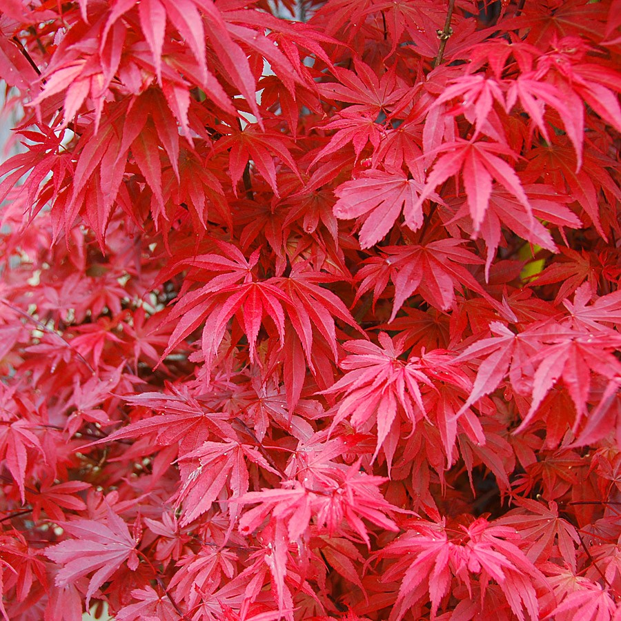 amazing acers autumn colour collection japanese maples three varieties. Black Bedroom Furniture Sets. Home Design Ideas