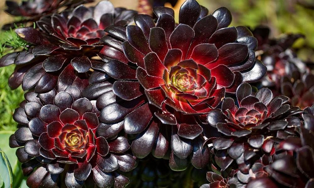 Aeonium arboreum var atropurpureum Zwartkop - 'Schwarzkopf ...