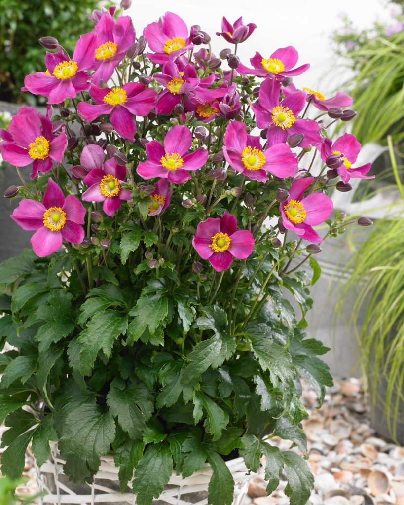 Anemone hupehensis 39 red riding hood 39 japanese anemone windflower - Hardy office plants ...