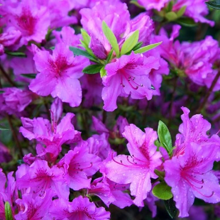Azalea japonica 39 blue danube 39 evergreen japanese azalea for Azalea japonica