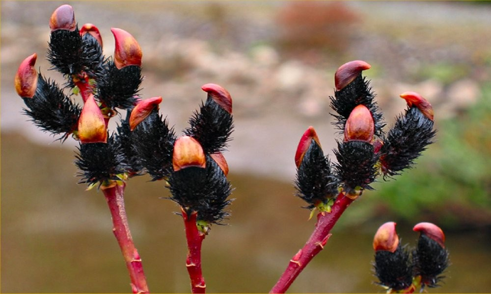 pair of black pussy willows patio standard black pussy willow trees salix - Pussy Willow Tree