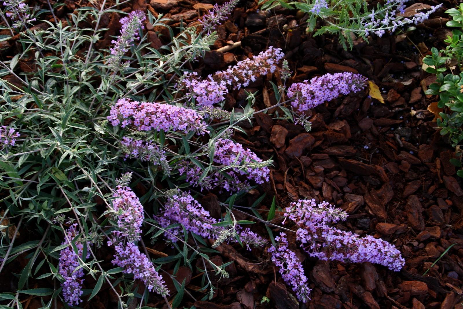 Buddleja Flutterby Flow Lavender Flow Butterfly Bush