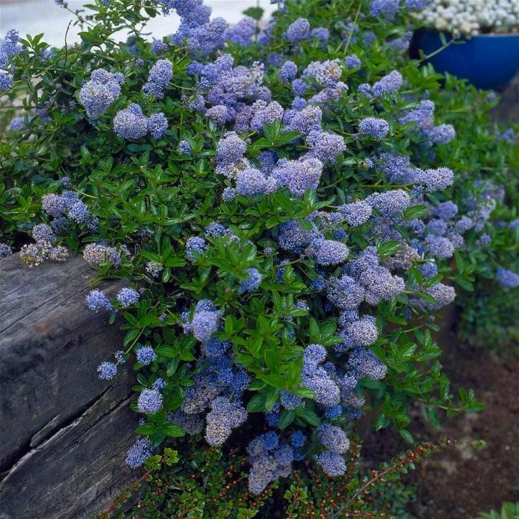 ceanothus thyrsiflorus repens californian lilac. Black Bedroom Furniture Sets. Home Design Ideas