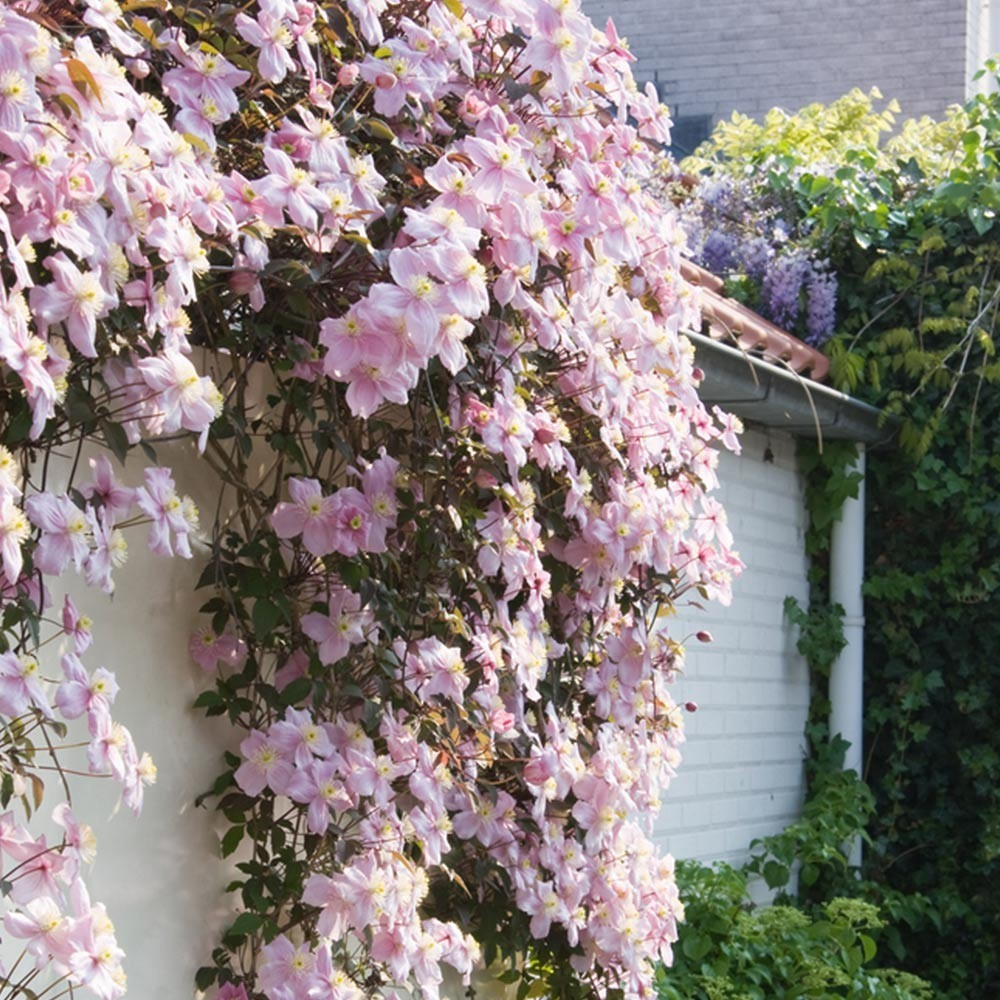clematis montana mayleen pink flowering clematis. Black Bedroom Furniture Sets. Home Design Ideas