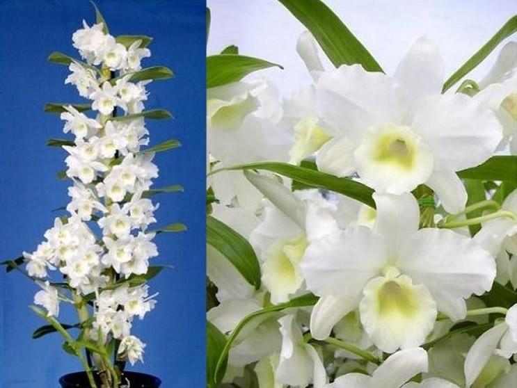 Dendrobium Nobilis - White Towering Orchid - Premium ...