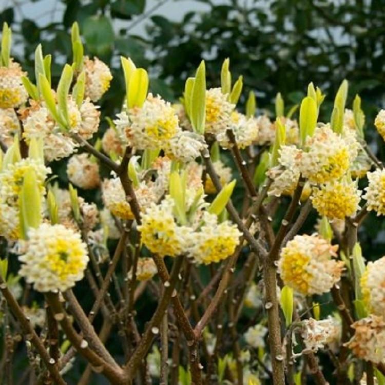 Edgeworthia chrysantha 39 nanjing gold 39 paperbush large for Edgeworthia chrysantha