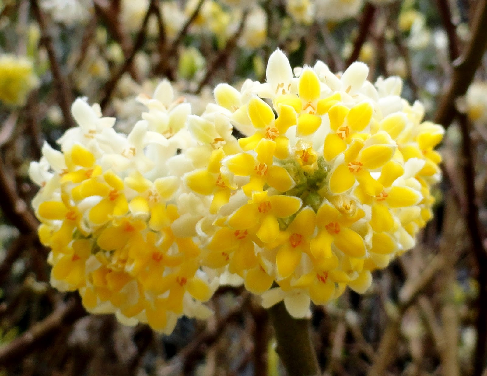 edgeworthia chrysantha 39 nanjing gold 39 paperbush large
