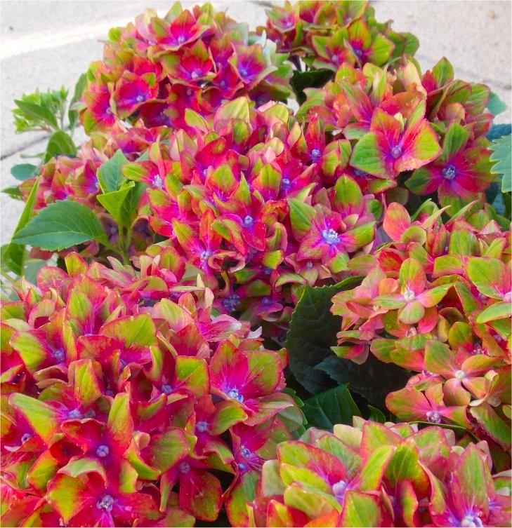 Hydrangea glam rock amazing multi coloured schloss for Multi colored rose bushes