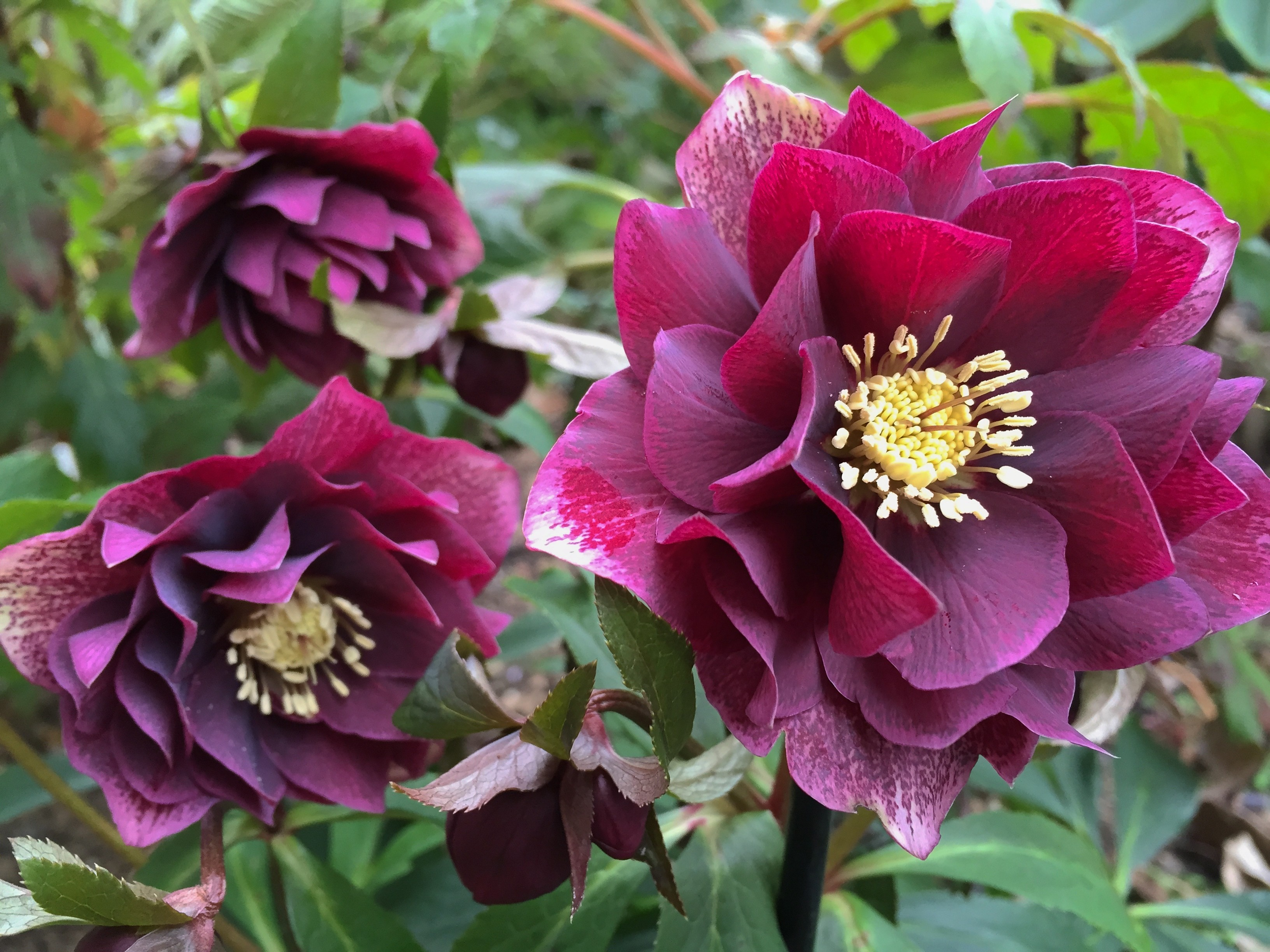 connoisseur helleborus plants collection